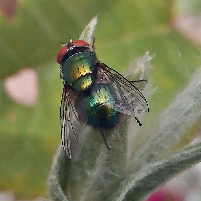 Calliphoridae: Lucilia sp.