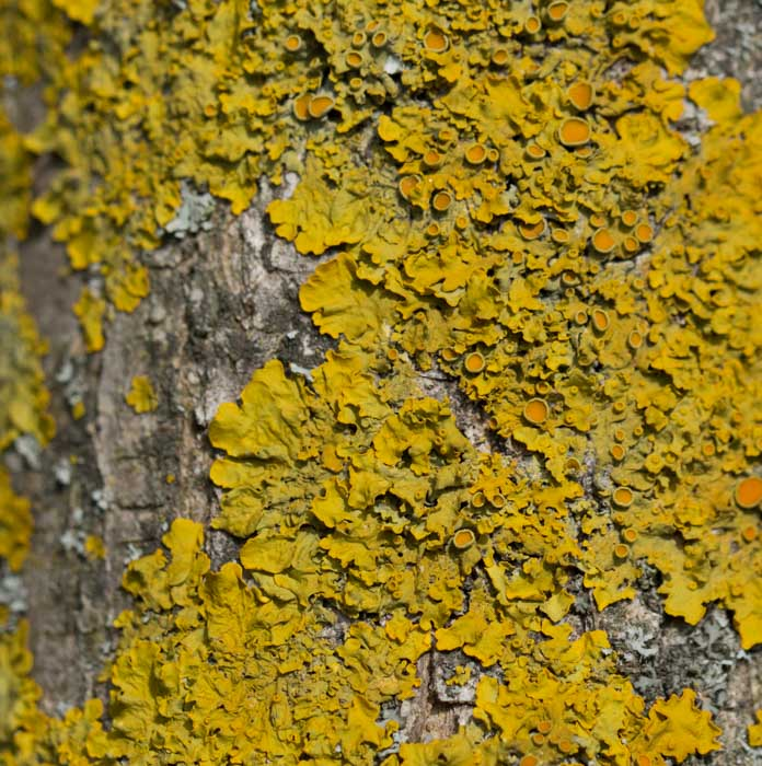 Xanthoria parietina (L.) Th. Fr.