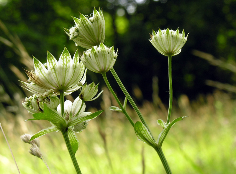 Astrantia-major-2.jpg