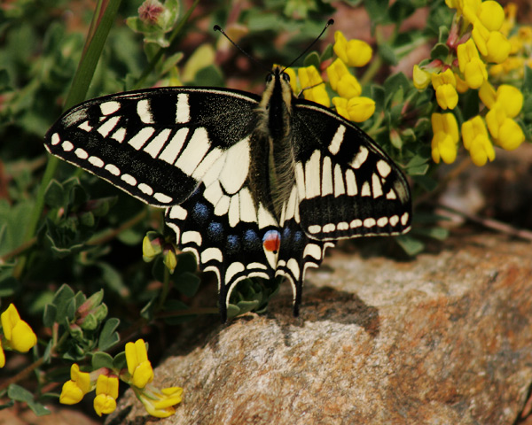 Papilio machaon.jpg