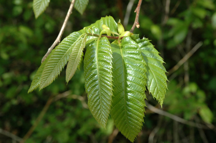 Castanea sativa Mill. 1.JPG