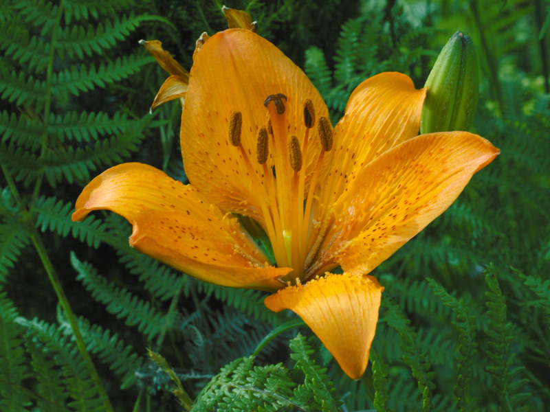 Lilium-bulbiferum-ssp-cr4.jpg