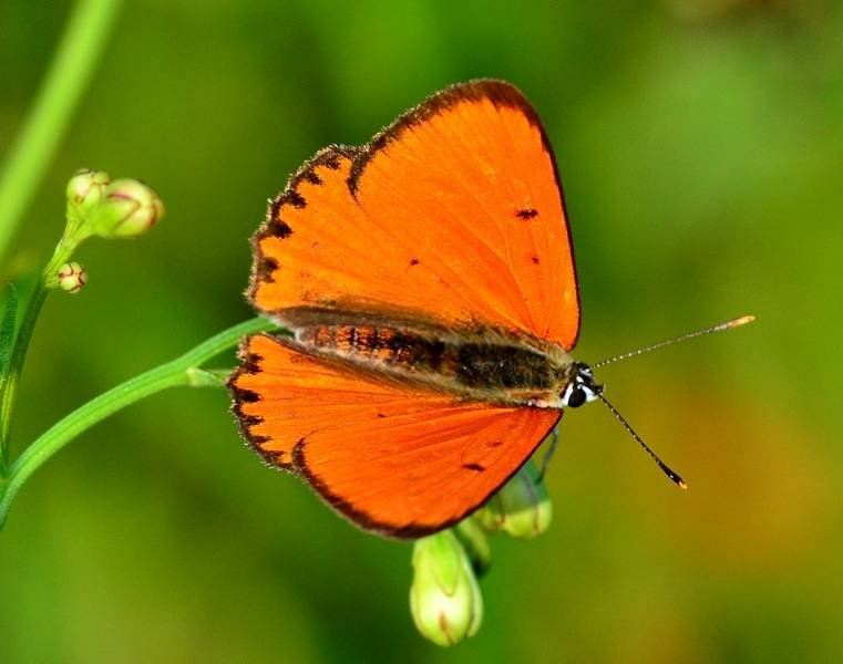 Lycaenidae: Lycaena dispar (Haworth, 1802) - maschio