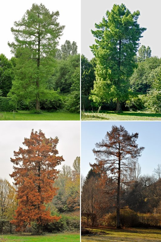 Taxodium_distichum_stagioni.jpg