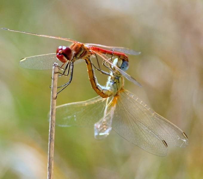 Libellulidae: Sympetrum fonscolombii (S�lys-Longchamps, 1840) - accoppiamento