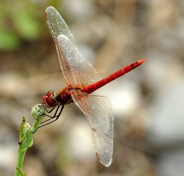 Libellulidae: Sympetrum fonscolombii (S�lys-Longchamps, 1840) - maschio