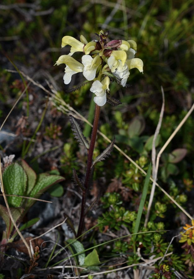 50-Mageroya-Caponord_Pedicularis lapponica 2017715m151.jpg