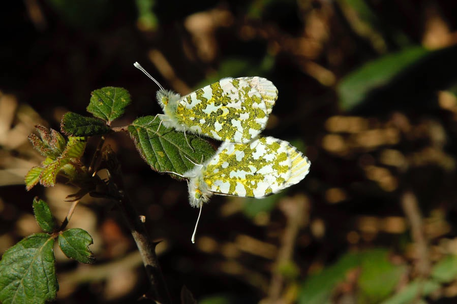 Lepidoptera: Anthocharis cardamines