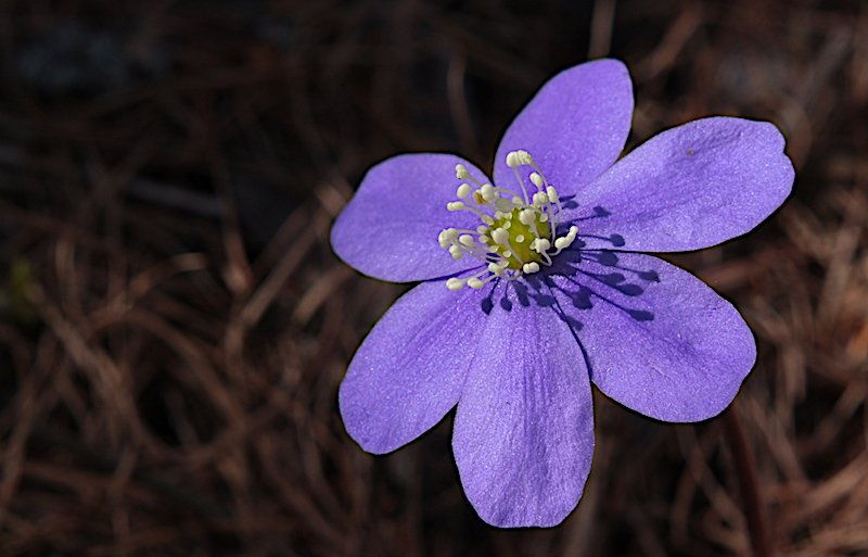 Hepatica_nobilis_Mill. .JPG
