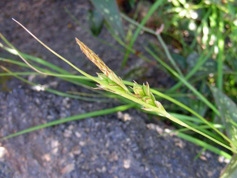 Carex-distachya-(2).jpg