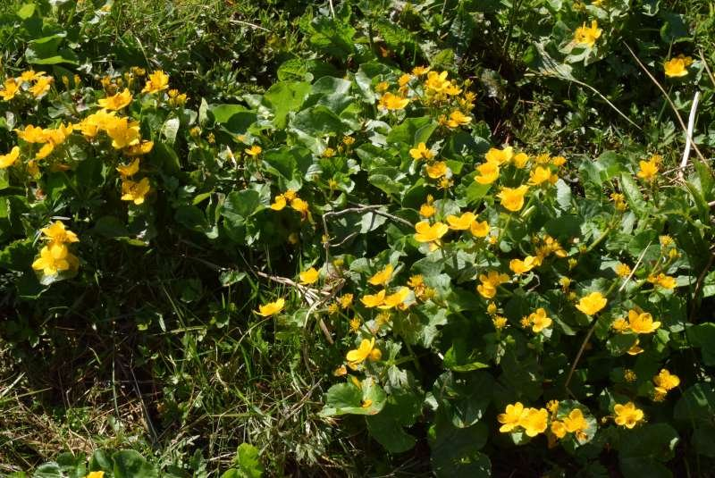 Caltha_palustris_190524-MS_5.JPG