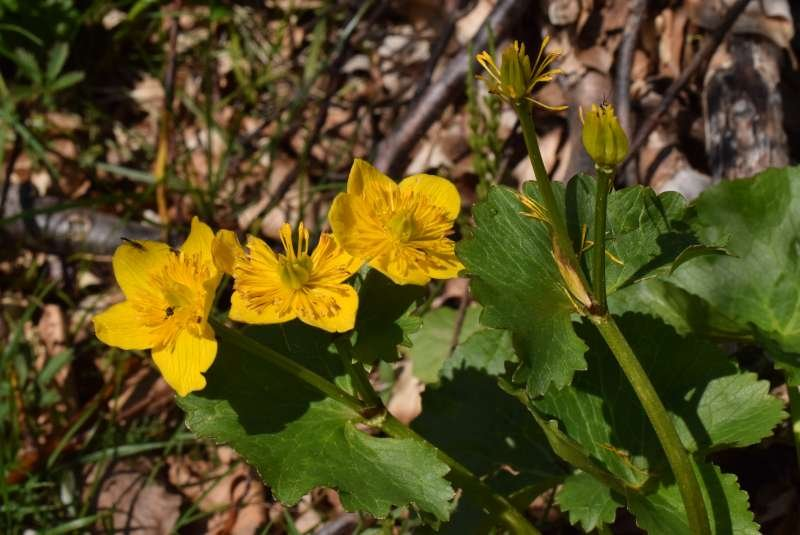 Caltha_palustris_190524-MS_3.JPG