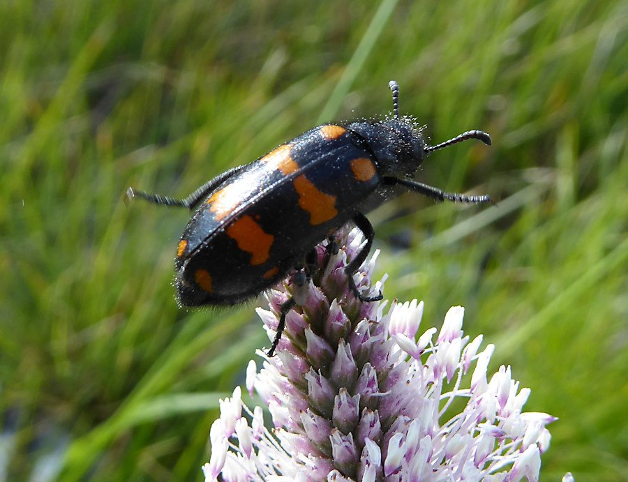 Coleoptera-Meloidae
