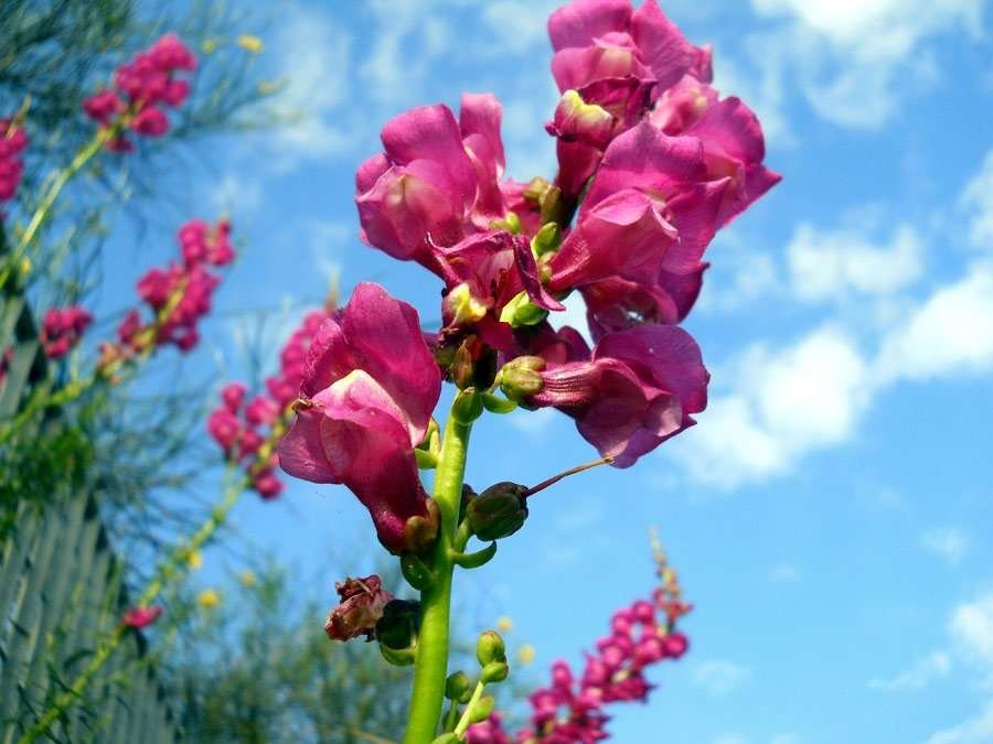 Antirrhinum-majus-L (another copy)..jpg