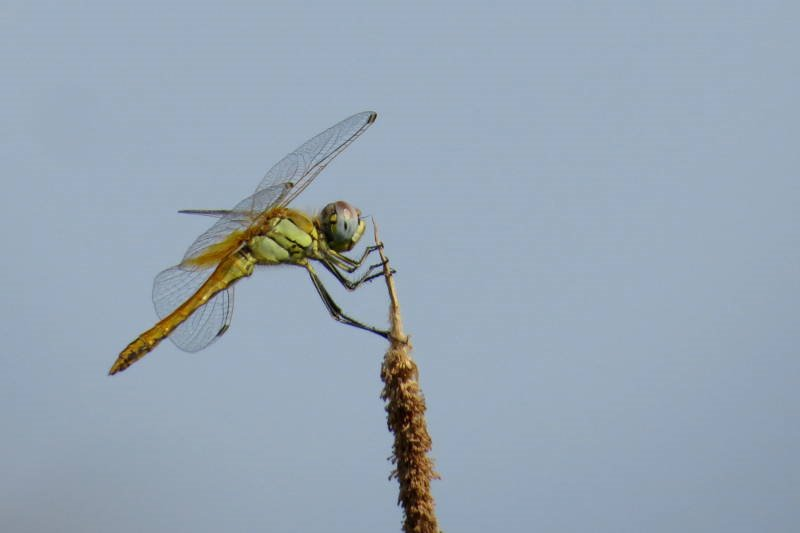 Libellulidae: Sympetrum fonscolombii (Selys, 1840))