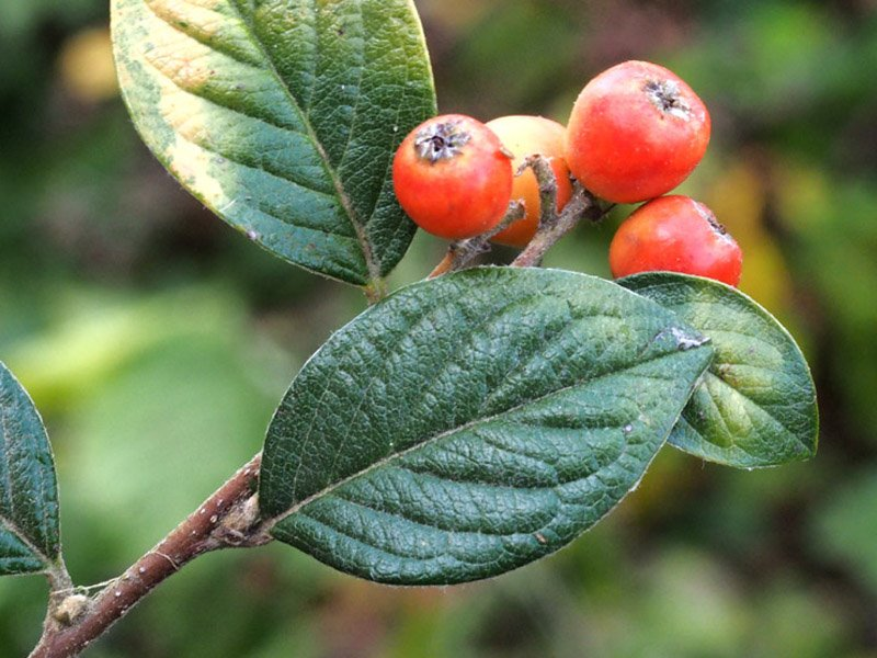 7_Cotoneaster_franchetii_pagina_sup_glabra.jpg