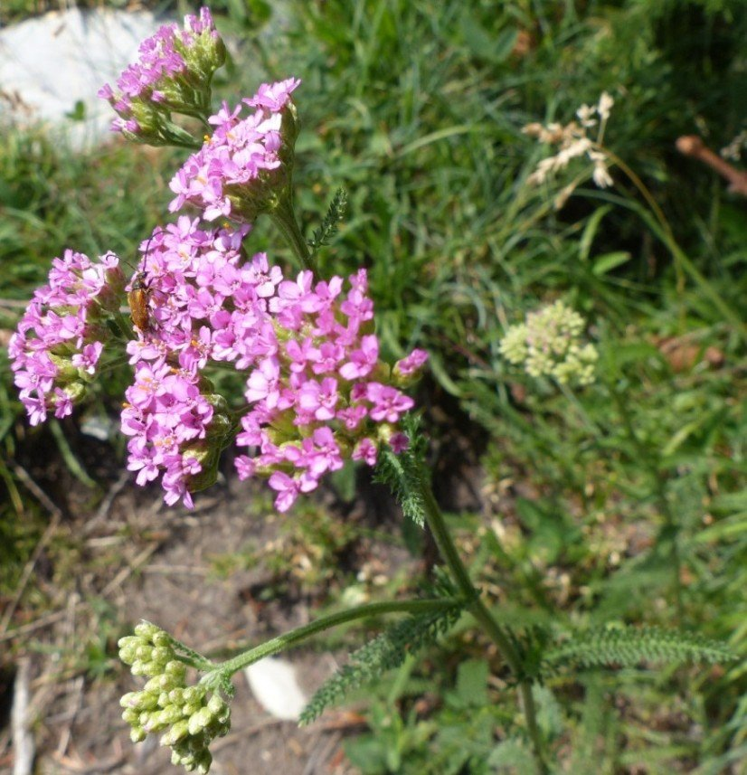4 Achillea distans Waldst. & Kit. ex Willd..JPG