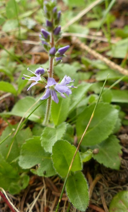 46 Veronica officinalis L..JPG