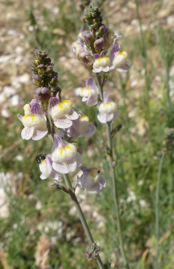 57Linaria repens (L.) Mill..JPG