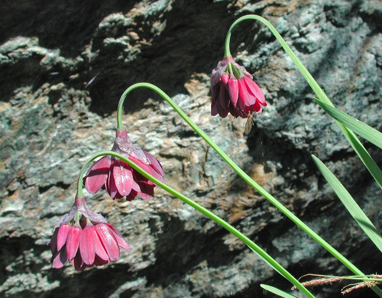Allium narcissiflorum fiori-2005 07 03-Vallone del Ru.jpg