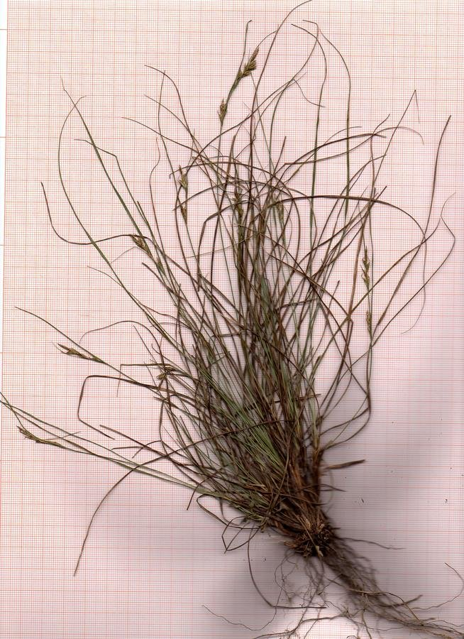 Carex_scan_001.jpg