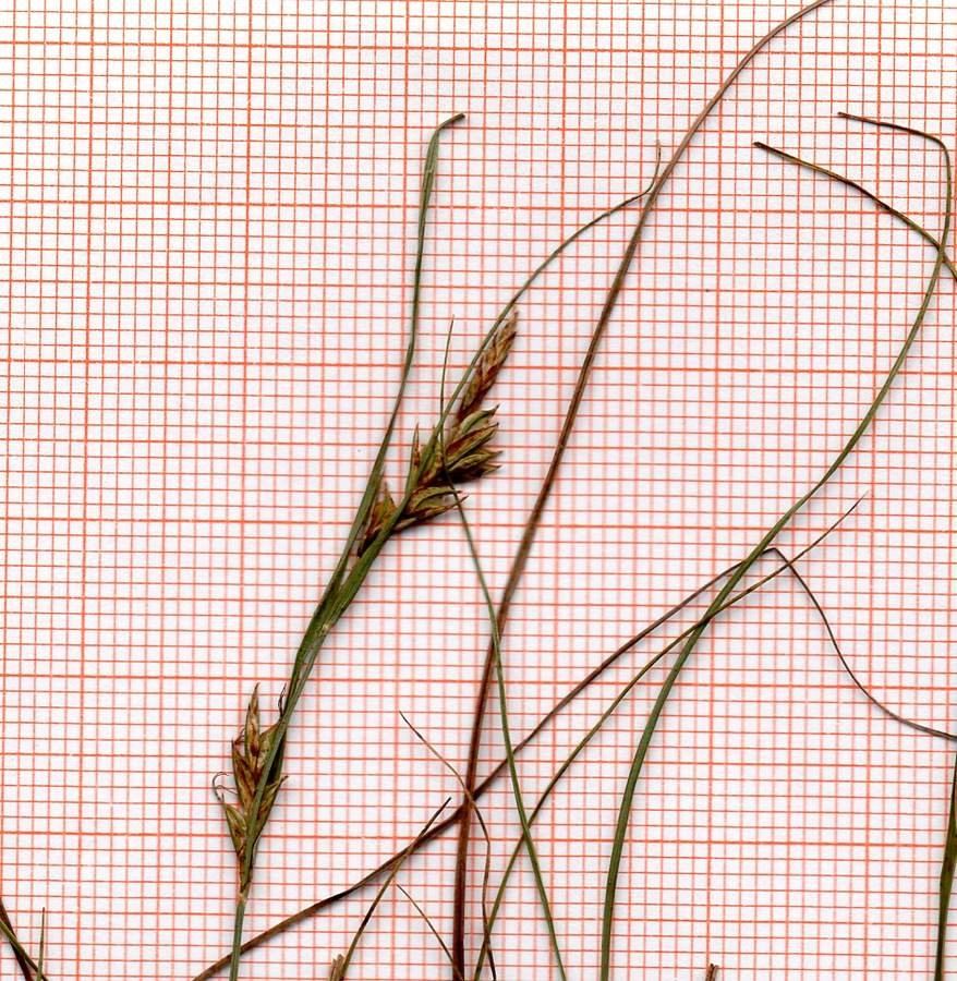 Carex_scan_002.jpg