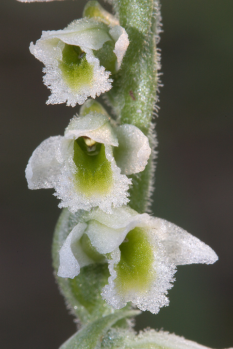 Spiranthes spiralis (L.) Chevall.