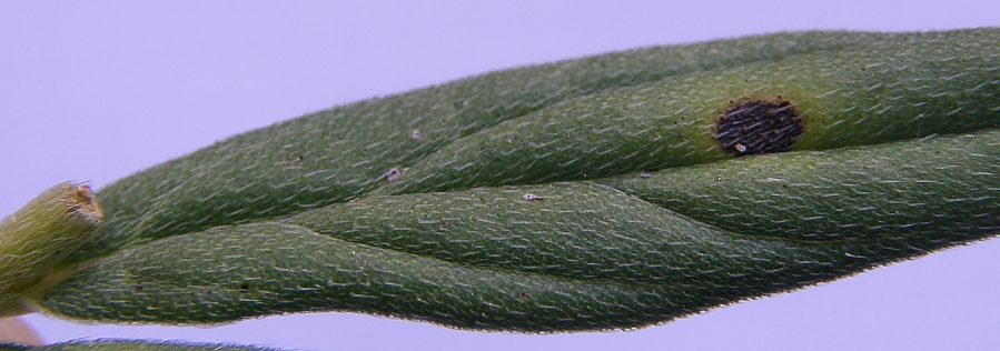 Lithospermum_officinale_2.jpg