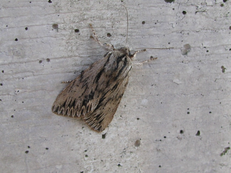 Noctuidae: Asteroscopus sphinx (Hufnagel, 1766)