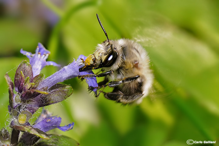 Anthophora sp plumipes03.jpg