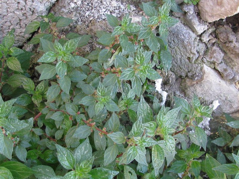 Parietaria officinalis L.