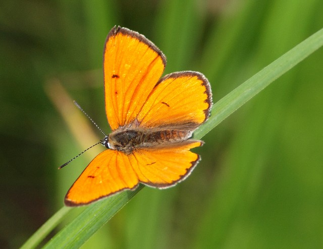 Lycaenidae: Lycaena dispar (Haworth, 1802)