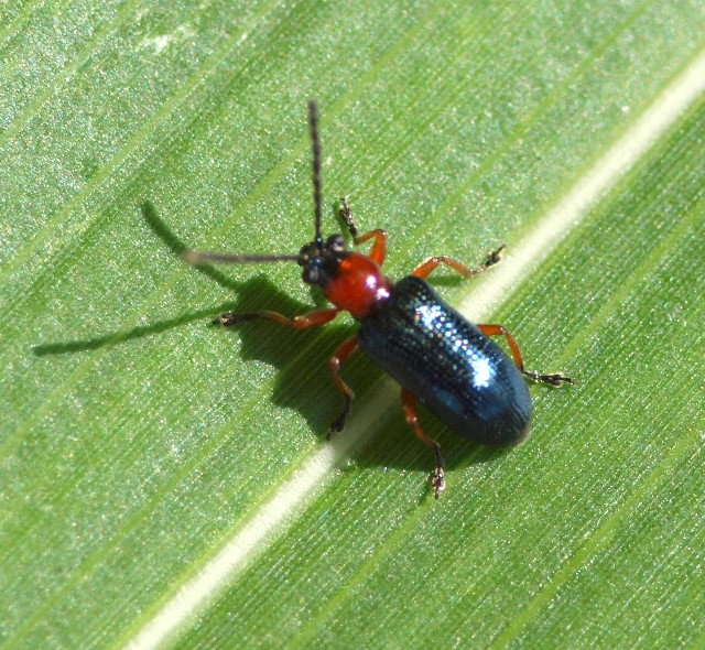 Chrysomelidae: Oulema sp.