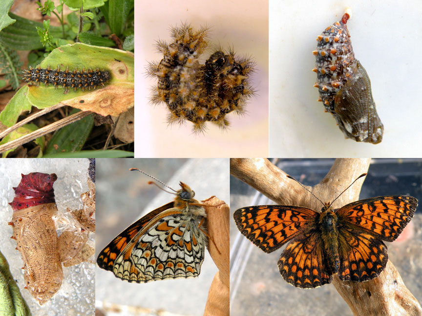 Nymphalidae: Melitaea phoebe (Denis & Schifferm�ller, 1775) - ciclo completo